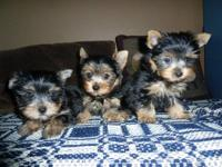 Their ready to meet you!! Adorable AKC Yorkies, 1 male