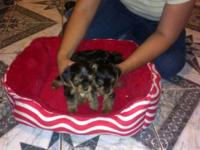 I am offering 2 AKC Yorkie young puppies, they are both