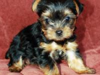 Stunning Yorkie puppies 1 male & female. The male is