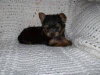 AKC registered Yorkie male pups available. They were