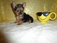 AKC registered Teacup Yorkie male. Expected adult