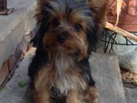 I have 1 male and 3 females Yorkie puppies, mother