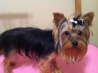 Yorkshire Terrier puppies born November 4th. AKC, Mom