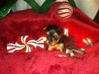 Emerald Yorkies has a gorgeous litter of AKC Yorkshire