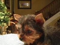 Top Quality Micro Chipped AKC Yorkie Babies!  I have 3