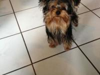 I HAVE TWO AKC MALE YORKSHIRE TERRIER FOR SALE. AMONG