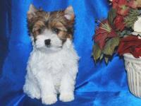 Born 9-8-13 Ready Now. Two males Steel Blue and Tan,