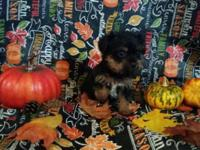 2 AKC Yorkshire Terriers. born 8/17/15. Tails docked