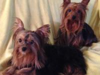 Beautiful, home raised yorkie pups! Dad was 4 and mom