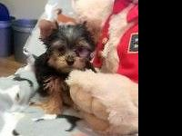 AKC Yorkie Puppies! Two males. Teddy Bear look! Plush