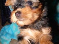 I have 3 cute guy yorkie dogs which are 6 weeks aged.