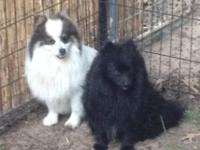 I have three AKC signed up young male Poms for