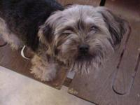 Small (under 5 lbs) Young male Yorkie for adoption.