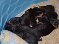 They are 11 weeks old all beautiful red males Only 5