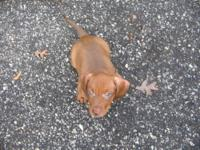 Beautiful AKC red with lots of sable mini dachshund