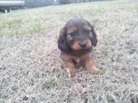 Sweet red sable female mini dachshund new puppy. Mama