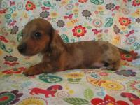 We have 4 lovable smooth coat miniature dachshund