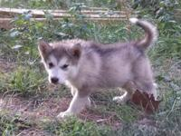 I have 3 beautiful akc registered Alaskan malamute