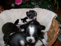 exceptional chihuahuas, black and white short nosed