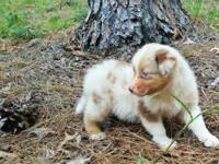 Australian Shepherd Merle Female Puppies, AKC Champion