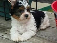 For sale. HANDSOME AKC BLACK AND WHITE YORKIE THAT MAY