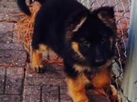 Purebred AKC registered German Shepherd puppies