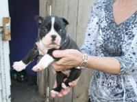 AKC Boston Terrier Female Puppy. Shots, Wormed and both