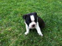 * AKC Limited Reg. PETS ONLY. Price: $800.00. Puppies