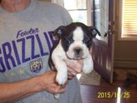 AKC Boston Terrier Puppies, 1st shots, dewormed and