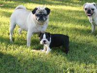 Our Boston Terrier puppies come AKC registered with