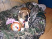 Akc female boxer She is 6 wks old Born 1-12-15 Vet