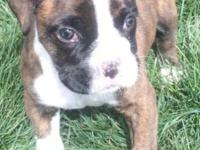 6 week old male boxer puppy. Brindle. Tail and dew