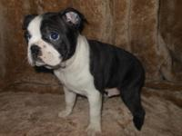 (Boston Oakes) AKC Boston Terrier Puppies,We breed our