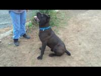 All black 10 month old cane corso Italian Mastiff male.