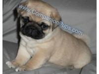 AKC Champion Bloodline PUG Puppies born in Dec and