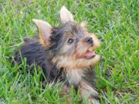 Valuable male Yorkie puppy, Show quality akc restricted