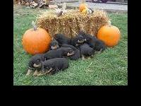 We have 10 AKC registered rottweiler puppies for sale.