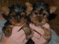 Cute Rare Pure Bred Parti Yorkie Puppies free of cost!
