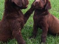 AKC Chocolate Labrador Retriever Puppies for sale. Both