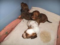 We have one female longhair piebald/dapple with blue