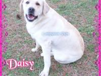 Daisy Female Blonde/Yellow English Lab ~ Available DOB