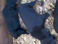 I have 2 black/rust male puppies left AKC Doberman