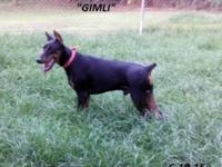 Gimli is a very sweet and handsome young male. HE comes