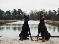 AKC Dobermans for sale. These Doberman pups are