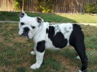 Akc English bulldog full breed female they're are 4