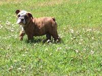 Petunia is a 12 week old English Bulldog Puppy ready to
