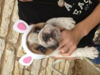 AKC registered English Bulldog puppies born 2/3/2013 &