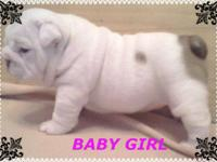 Healthy, Cute AKC Registered English Bulldog Puppies.