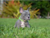 Akc Exceptional French Bulldog Puppies Ready.Gorgeous