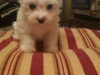 FOR SALE AKC FEMALE ee platinum blonde parti color